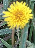Blüte eines Gemeinen Löwenzahns(Taraxacum sect. ruderalia(Kirschner, H.Øllg & Štěpánek))