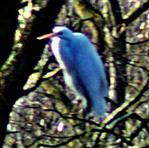 Silberreiher(Ardea alba(L. 1758)) am Lohmühlenweiher
