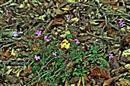 Stinkender Storchschnabel bzw. Ruprechtskraut(Geranium robertianum(L.))