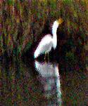 Nochmals Silberreiher(Ardea alba(L. 1758)) am südwestlichen Ufer