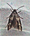 Spreizflügel-Nesselmotte(Anthophila fabriciana(L. 1767))