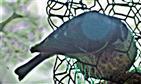 Blaumeise(Cyanistes caeruleus(L. 1758)) am Meisenknödel
