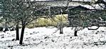 Amseln(Turdus merula(L. 1758)) auf Nahrungssuche unter Obstbäumen im Schnee