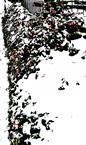 Zwergmispel(Cotoneaster integerrimus(L.)) fruchtend im Schnee
