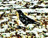Saatkrähe(Corvus frugilegus(L. 1758)) auf einem Feld im Schnee