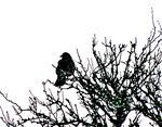 Saatkrähe(Corvus frugilegus(L. 1758)) auf einem Obstbaum ruhend