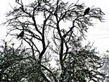 Zwei Saatkrähen(Corvus frugilegus(L. 1758)) auf einem Obstbaum