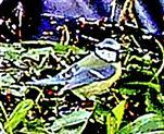 Blaumeise(Cyanistes caeruleus(L. 1758)) auf einem Tümpel