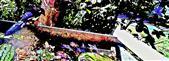 Elster(Pica pica(L. 1758)) Alt- wie Jungvogel am Rande eines Komposthaufens