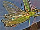 Grünes oder Großes Heupferd(Tettigonia viridissima(L. 1758)) bei einem