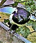 Elster(Pica pica(L. 1758)) am Kompostrand - offensichtlich auch in