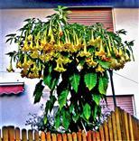 Engelstrompete(Brugmansia(Pers.) arborea)