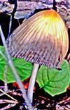 Falten-Tintling(Coprinopsis atramentaria(Bull. ; Fr. ) Fr.)