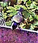 Kohlmeise(Parus major(L. 1758)) am Rande eines Komposthaufens