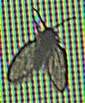 Schmetterlingsmücke(Clogmia albipunctata(Newmann 1834)) als seltener Gast am Bildschirm