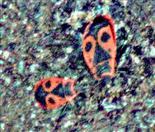 Zwei Gemeine Feuerwanzen(Pyrrhocoris apterus(L. 1758)) unterwegs