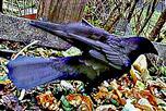 Landende Saatkrähe(Corvus frugilegus(L. 1758)) auf einem Komposthaufen
