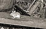 Waldmaus(Apodemus sylvaticus(L. 1758)) am Rande eines Komposthaufens