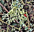Pflaumenflechte(Evernia prunastri(L.)Ach.) an einem Schlehengebüsch(Prunus spinosa(L.))