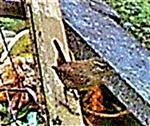 Zaunkönig(Troglodytes troglodytes(L. 1758)) auf einem Komposthaufen