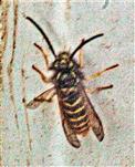 Gemeine Wespe(Vespula vulgaris(L. 1758))(männlich)