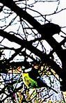 Zwei Blaumeisen(Cyanistes caeruleus(L. 1758)) im Pflaumenbaum(Prunus domestica(L.))