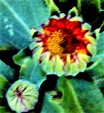 Knopsen von Ringelblumen(Calendula officinalis(L. )) November 2019