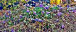 Noch blühender Wald-Storchschnabel(Geranium sylvaticum(L.))