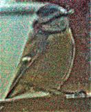 Blaumeise(Cyanistes caeruleus(L. 1758)) vor dem Fenster