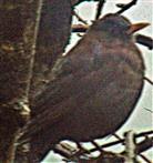 Weibliche Amsel(Turdus merula(L. 1758)) in der Nähe einer Fütterung