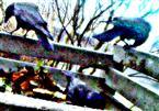 Drei Saatkrähen(Corvus frugilegus(L. 1758)) an wie auf einem Komposthaufen im Nebel