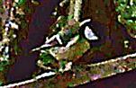 Kohlmeise(Parus major(L. 1758)) auf einem Holzgeländer rastend