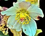 Blüte einer Schnee- bzw. Christrose(Helleborus niger(L.))