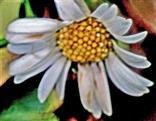 Blüte des Gänseblümchens(Bellis perennis(L.))