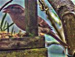 Weiblicher Haussperling, Spatz(Passer domesticus(L. 1758)) an einer Futterstelle