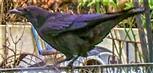 Junge Saatkrähe(Corvus frugilegus(L. 1758)) an einem Komposthaufen