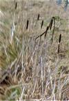 Breitblättriger Rohrkolben(Typha latifolia(L.))