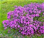 Pontischer Rhododendron(Rhododendron ponticum(L.))