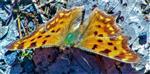 C-Falter(Polygonia c-album(L. 1758))(weiblich) sich auf einem Waldweg wärmend
