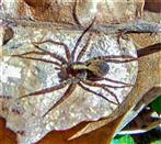 Erdwolfsspinne(Trochosa terricola(Thorell 1856))(weiblich) sich wärmend