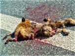 Rotfuchs(Vulpes vulpes(L. 1758)) als Verkehrsopfer