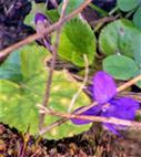 Duftveilchen(Viola odorata(L.))