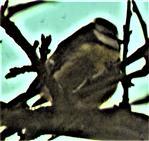 Blaumeise(Cyanistes caeruleus(L. 1758)) im Geäst einer Kulturpflaume(Prunus domestica(L.))