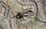 Weidensandbiene(Andrena vaga(Panzer 1799))