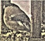 Weiblicher Gimpel(Pyrrhula pyrrhula(L. 1758)) auf einer Futterstelle