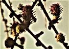 Lärchenzapfen(Larix decidua(Mill.))