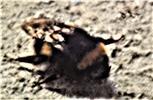 Dunkle Erdhummel(Bombus terrestris(L. 1758)) ermattet an einer Hauswand