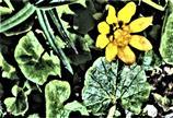 Frühlings-Scharbockskraut(Ficaria verna oder Ranunculus ficaria(Huds.))