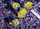Huflattich(Tussilago farfara(L.)) am Rande der Wacholderheide