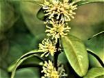 Gewöhnlicher Buchsbaum(Buxus sempervirens(L.)) in Blüte
